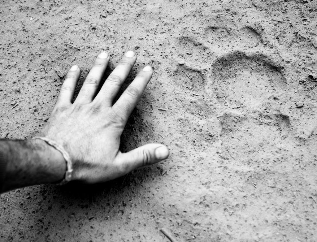 Vom Tiger waren nur noch die Fußspuren übrig.